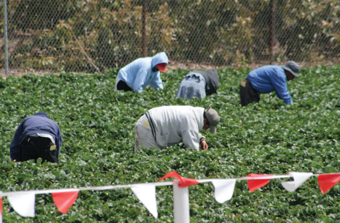 Migrant Workers picking strawberries in a field.