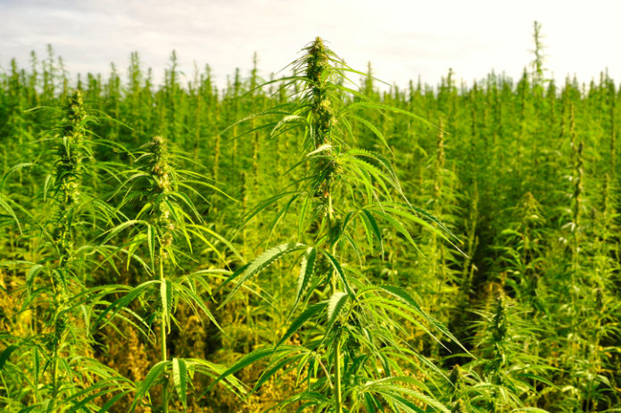 A plantation of cannabis plants.